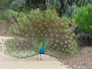 Numerous peafowl wander the ground at the LA County Arboretum. Photo by Jane Pojawa.