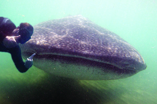 WHALE SHARK: Students swim with the largest known species of fish (Rhincodon typus) while studying in Baja California this summer.